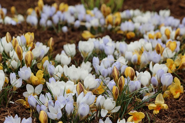 Crocuses blooming outside Essex Hall