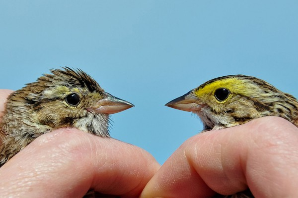 differing coloration of two male savannah sparrows