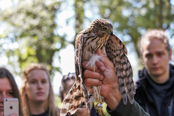 hawk being banded by volunteers