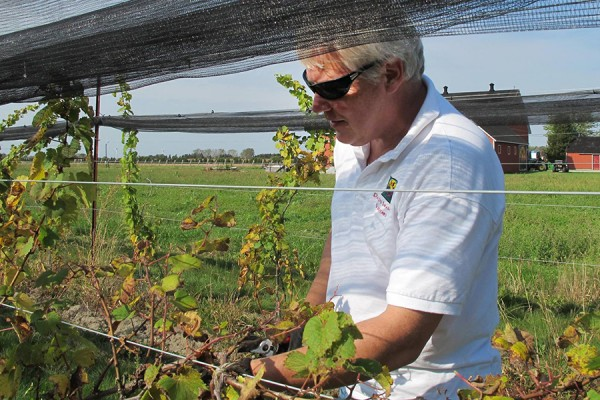 Master taster Robert Dennison checks grapes on vine