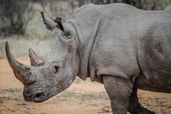 An African rhinoceros is pictured in this handout photo.