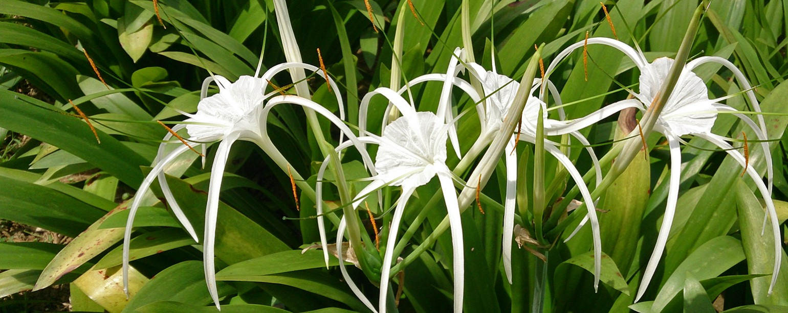 Hawaiian spider lily